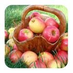 Монодиета на яблоках